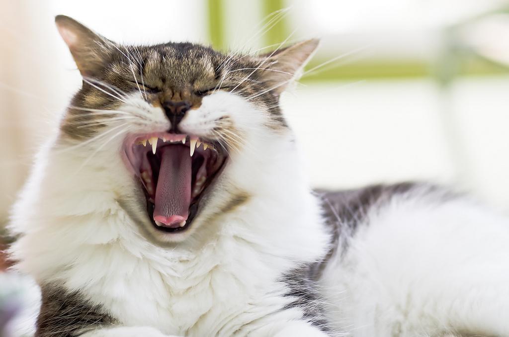 猫があくびしている